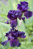 Dunkles violettes Irisblühen Stockfotos