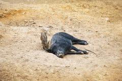 Dunkles wildes Schwein, das im Sand liegt Nahe bei dem kleinen Schweineber Lizenzfreie Stockfotografie