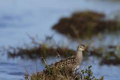 Dunlin, średniej wielkości sandpiper i shorebird pozycja wśród trawy, Obrazy Royalty Free