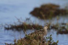 Dunlin, среднего размера кулик и shorebird пряча среди травы стоковая фотография rf