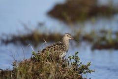 Dunlin, среднего размера кулик и shorebird стоя среди травы стоковые фотографии rf