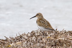 Dunlin Photos stock