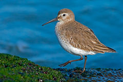 Dunlin. A flock Dunlin walking on a Jetty Royalty Free Stock Photos