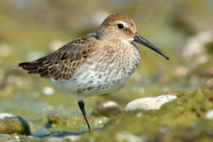 Dunlin Photographie stock
