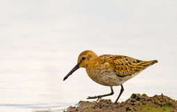 Dunlin (aka calidris alpina) Stock Photography