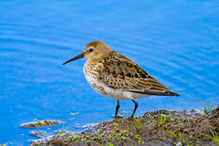 Dunlin (aka Calidris alpina) on blue water Stock Photo