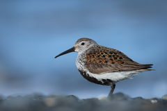 Dunlin on Alaskan Beach Stock Photo