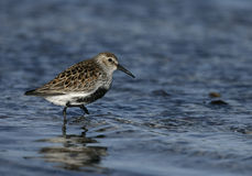 Dunlin, alpina del Calidris Immagine Stock