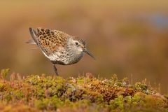 Dunlin (alpina del Calidris) Immagine Stock