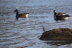 Dunlin (alpina del Calidris) sul mucchio della sabbia nell'acqua Fotografie Stock