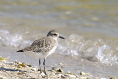 Dunlin, alpina do calidris Fotografia de Stock Royalty Free