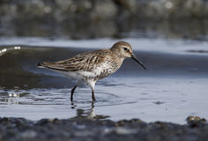 Dunlin, alpina do Calidris Fotografia de Stock