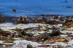 Dunlin on the beach Stock Photo