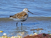 Dunlin on Beach Royalty Free Stock Images