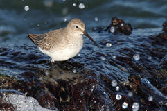 Dunlin (Calidris alpina). In crashing waves in the Atlantic ocean Royalty Free Stock Photos