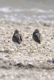 Dunlin, calidris alpina Stock Images