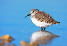 Dunlin (calidris alpina) Stock Photo