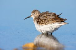 Dunlin (calidris alpina) Royalty Free Stock Image