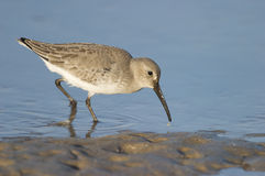 Dunlin, Calidris alpina. On dark gray beach sands and blue water Stock Image