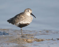 Dunlin, Calidris alpina Stockbild