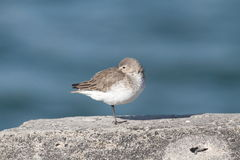 Dunlin (Calidris alpina) Royalty Free Stock Photos