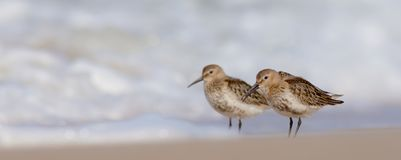 Dunlin - Calidris alpina. On autumn migration way, Curonian Spit, Lithuania Stock Photography
