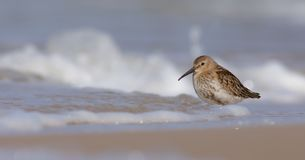 Dunlin - Calidris alpina. On autumn migration way, Curonian Spit, Lithuania Royalty Free Stock Photo