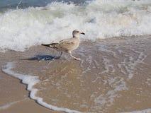Dunlin, Calidris alpina, ein Stelzvogelvogel auf dem baltischen Strand Stockbilder