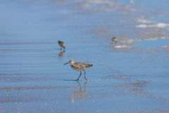 Dunlin. (Calidris alpina) feeding on shore Royalty Free Stock Images