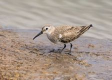 Dunlin - Calidris alpina feeding on a Worcestershire Wetland. stock image