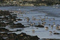 Dunlin, Calidris alpina. Group birds in water, South Uist, Hebrides, Scotland Royalty Free Stock Photos