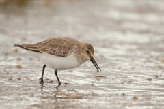 Dunlin (Calidris alpina). Looking for food on the Cavado estuary Royalty Free Stock Images