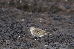 Dunlin Calidris alpina, a medium sized sandpiper and shorebird searching for food along a marshy shoreline Stock Image