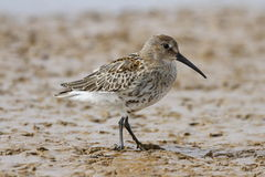 Dunlin Calidris alpina, a medium sized sandpiper and shorebird searching for food along the shoreline Stock Photos
