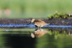 The Dunlin Calidris alpina Stock Photography