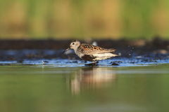 The Dunlin Calidris alpina Stock Image