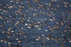 Dunlin, Calidris alpina, Royalty Free Stock Images