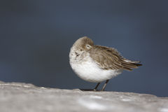 Dunlin, Calidris alpina, Stock Photo
