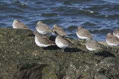 Dunlin, Calidris alpina, Stock Images