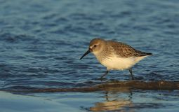 A stunning Dunlin, Calidris alpina, searching for food along the shoreline at high tide on the Isle of Sheppey, Kent, UK. stock image