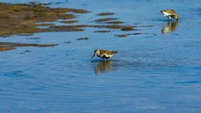 Dunlin, Calidris alpina, searching for food at sea shoreline, close-up portrait, selective focus, shallow DOF.  stock photo