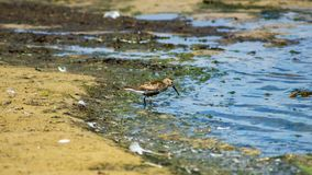 Dunlin or Calidris alpina, searching for food at sea shoreline, close-up portrait, selective focus, shallow DOF.  royalty free stock photos