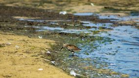 Dunlin or Calidris alpina, searching for food at sea shoreline, close-up portrait, selective focus, shallow DOF.  royalty free stock photography