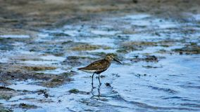 Dunlin or Calidris alpina, searching for food at sea shoreline, close-up portrait, selective focus, shallow DOF.  stock image
