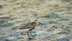 Dunlin or Calidris alpina, searching for food at sea shoreline, close-up portrait, selective focus, shallow DOF.  royalty free stock image