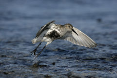 Dunlin, Calidris alpina Stock Photography