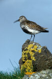 Dunlin, Calidris alpina. Single bird on rock, Iceland Stock Photo