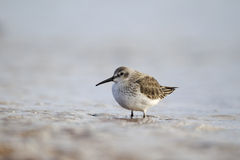 Dunlin, Calidris alpina Royalty Free Stock Image