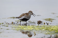 Dunlin, Calidris alpina Royalty Free Stock Images