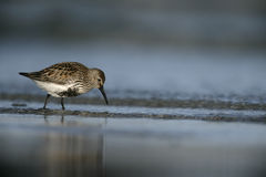 Dunlin, Calidris alpina Stock Photo